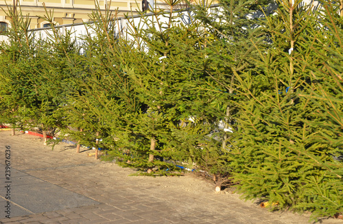 Fresh balsam fir Christmas trees for sale on the fir market. Choose the perfect Christmas tree.