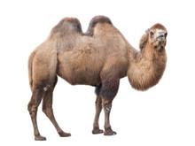 Bactrian Camel (Camelus Bactr...