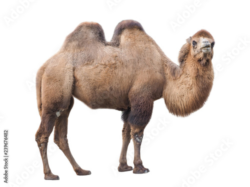 Fotobehang Kameel Bactrian camel (Camelus bactrianus), isolated on White background