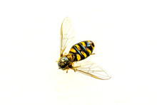 Hoverfly In A Macro