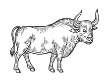 Bull Rural Farm Animal Engraving Vector Illustration. Scratch Board Style Imitation. Black And White Hand Drawn Image.
