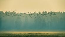 Beautiful Flock Of Migratory G...