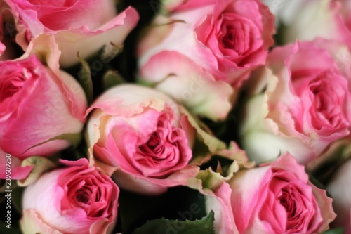 Wall Murals Floral Pink and white roses. Beautiful macro close-up rose bouquet from Holland auction Alsmeer.