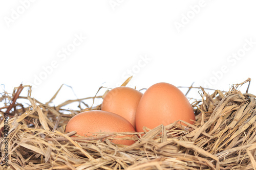 eggs organic fresh in straw hay on white background.