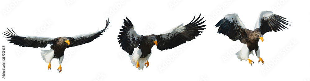 Various phases of a flying Adult Steller's sea eagle.  Scientific name: Haliaeetus pelagicus. Isolated on white background.