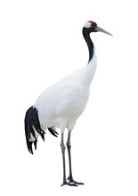 Japanese Crane, Or Red-crowned Crane (Grus Japonensis), Isolated On White Background