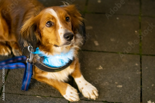 Foto Cute little dog with leash and light collar looking up