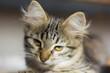 beautiful grey kitten with greenish eyes