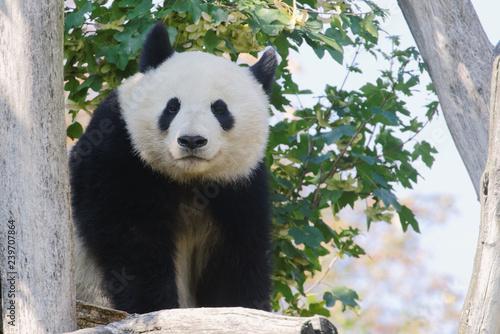 Valokuva  Giant panda