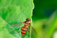 Hoverfly In A Natural Environm...