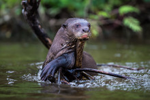 Giant River Otter In The Brazi...