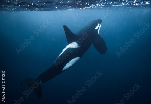 Plakat Piękna męska orka w Norwegia