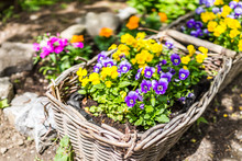 Macro Closeup Of Purple And Yellow Pansy Flowers In Woven Basket On Summer Porch