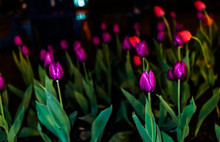 Closeup Of Field Of Many Purple Tulips With Water Drops From Rain At Dark Flash Night