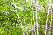 Closeup Of Many Green Birch Trees Grove With Leaves In Northern Canadian Canada Summer