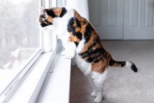 Funny One Calico Cat Closeup L...