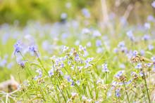Wildflowers Tradescantia Occid...
