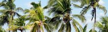 Coconut Palm Tree For Plantati...
