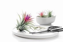 Tillandsia Air Plant On A Whit...