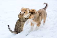 Tabby Cat Swatting At Rough Collie Puppy In The Snow