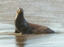 Water  Droplet Whiskered  Sea Lion