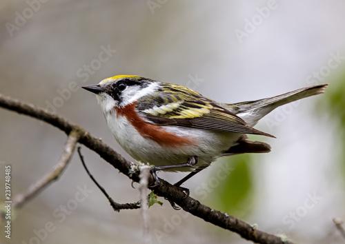 Photo Chestnut-sided Warbler