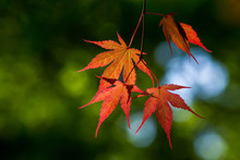 Red Leaves Of  Japanese Maple  In Poland