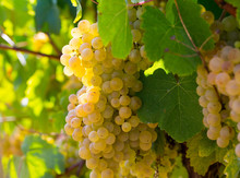 Ripe White Grapes In Vineyard