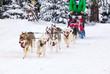 dog sled race with huskies