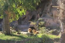 東山動物園 寄り添うライオン