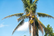 Closeup of many colorful orange yellow bright palm tree leaves, green unripened coconuts, coconut fruit, branches isolated against blue sky in Miami, Florida during sunny day