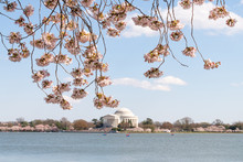 Frame, Framing View On Tidal Basin Water, Thomas Jefferson Memorial In Spring, Springtime, Cherry Blossom Festival, Sakura Trees Blooming, Flowers, Branches, Hanging, People, Walking In Washington DC