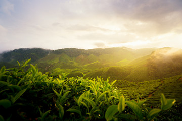 Amazing Malaysia landscape. View of tea plantation in sunset/sunrise time in in Cameron highlands, Malaysia. Nature background with foggy.