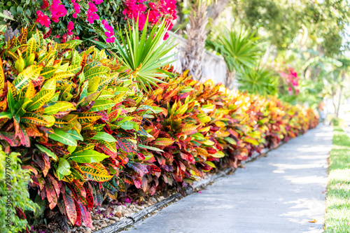 Poster Jaune Vibrant codiaeum variegatum, petra croton, variegated plant leaf, leaves, landscaped garden, landscaping wall, outside, outdoor street, green grass, road, street sidewalk in tropical Florida keys