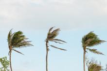 Three Palm Trees, Palms Swayin...