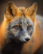 Portrait Of A Fox (Sivodushka - A Cross Between Red Fox And Silver Fox). Fox Face (muzzle) Close-up. Magadan Region, Russia.