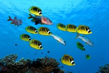 Swarm Raccoon Butterflyfish (Chaetodon Lunula), Yellow, Together With Sabre Squirrelfishesn (Sargocentron Spiniferumn), Red, Swimming Over Coral Reef, Pacific Ocean, French Polynesia, Oceania