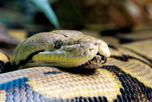 Reticulated Python,  Found In South Asia And Southeast Asia