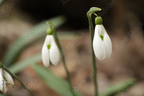 Fotografiet  Snowdrops (Galanthuses) in forest