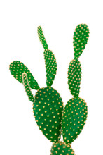 Green Bunny Ear Cactus On Clear White Background