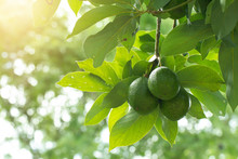 Avocado On Plant Or Raw Avocado On Tree Fresh Product In Thailand's Organic Farm,Avocado Fruit On Tree Useful For Works Like Brochure, Magazine, Food Business Or Other Industrial