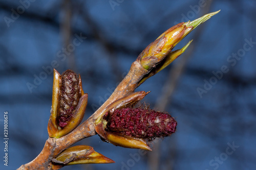 Young twig of blossoming poplar tree with male catkins against the blue sky Fototapeta