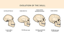 Human Evolution Of The Skull And Text With Dating. Australopithecus, Homo Erectus. Neanderthalensis, Homo Sapiens. Historical Illustrations. Darwins Theory.