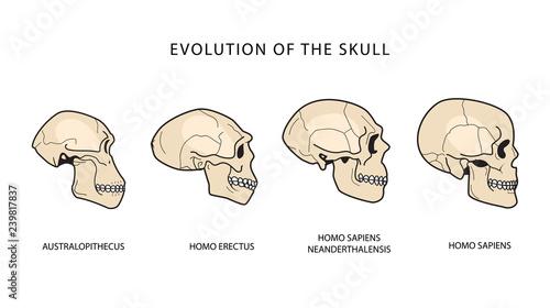 Human Evolution Of The Skull Wallpaper Mural
