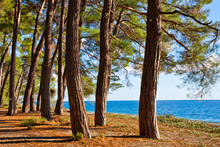 Pine Forest By The Blue Sea In The Legendary Colchis. Abkhazia