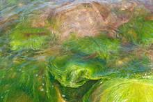 Algae On The Rocks In A Clear Pond.