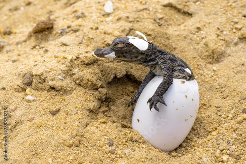 A baby Nile Crocodile emerges from its egg. Tapéta, Fotótapéta