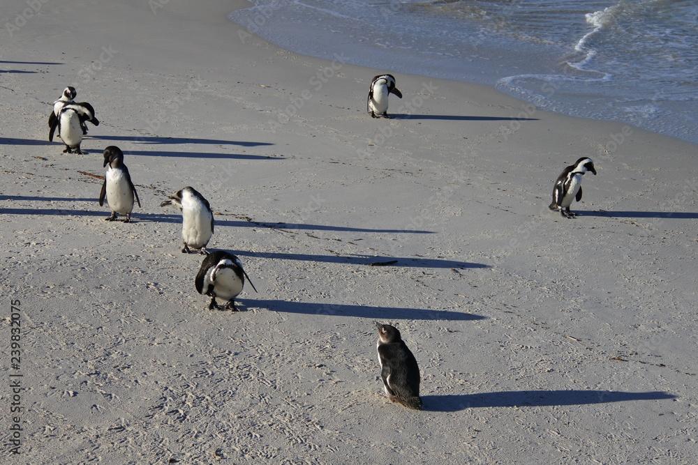 Brillenpinguine nach der Jagd im Meer am Strand in Boulders Beach in Südafrika