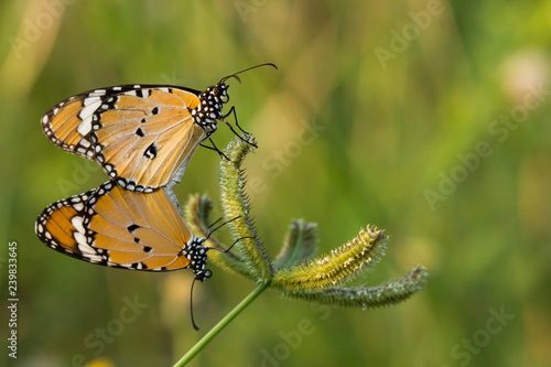 Fotografie, Obraz  The  Plain Tiger butterfly (Danaus chrysippus) on flower and green nature habitat
