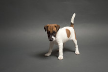 Little Cute Puppy Smooth Hair Fox Terrier On A Gray Background